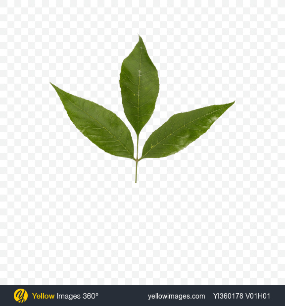 Download Green Leaves Transparent PNG on Yellow Images 360°