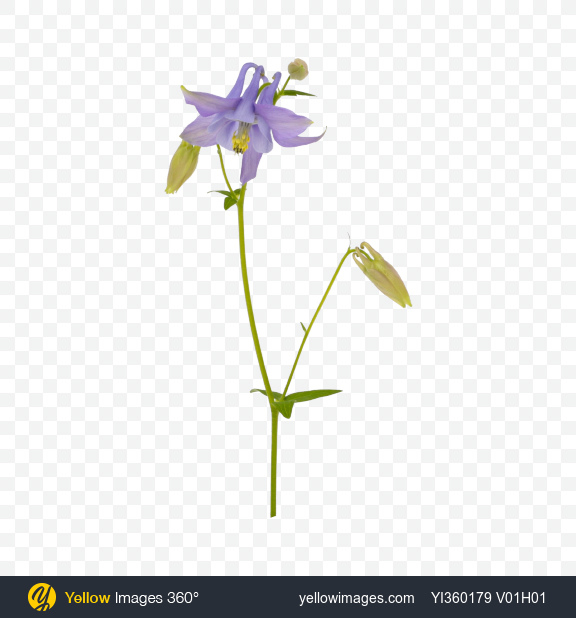 Download Aquilegia Flower Transparent PNG on Yellow Images 360°