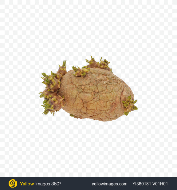 Download Sprouted Potato Transparent PNG on YELLOW Images