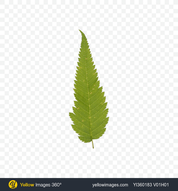 Download Fern Leaf Transparent PNG on Yellow Images 360°