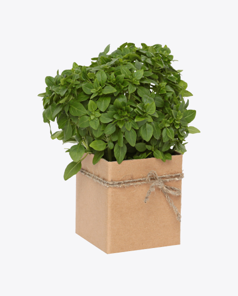 Bunch of Green Basil In Box