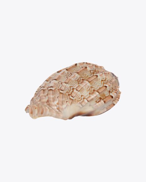 Glossy Seashell