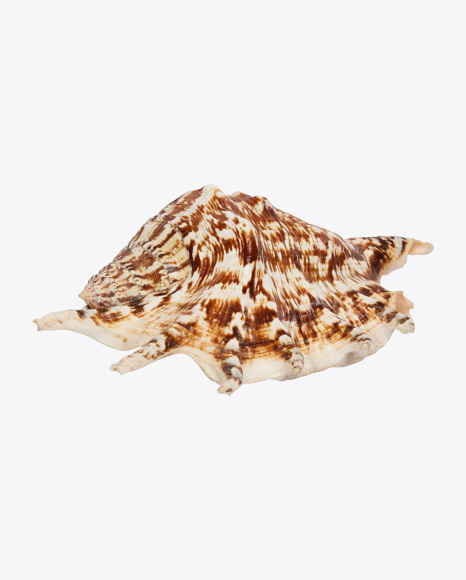 Striped Spiky Seashell