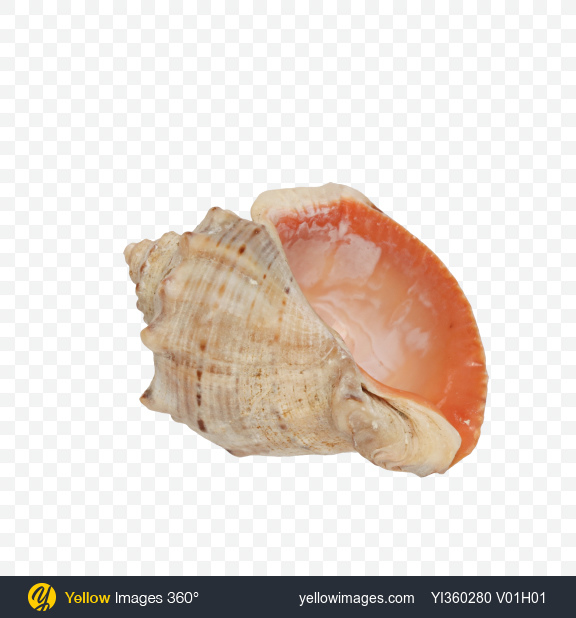 Download Seashell Transparent PNG on Yellow Images 360°