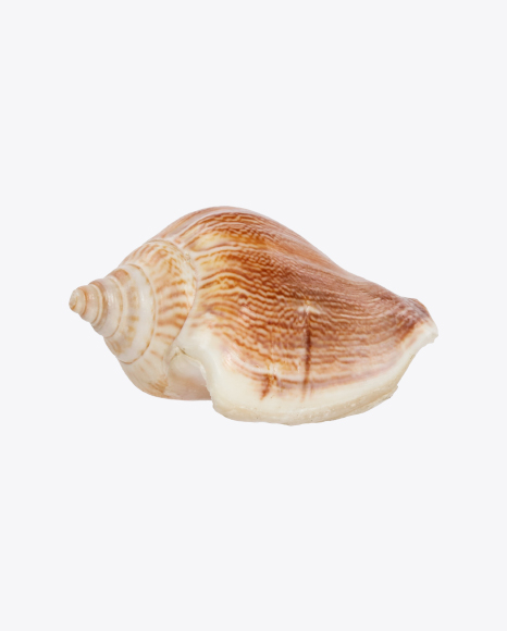 Glossy Striped Seashell