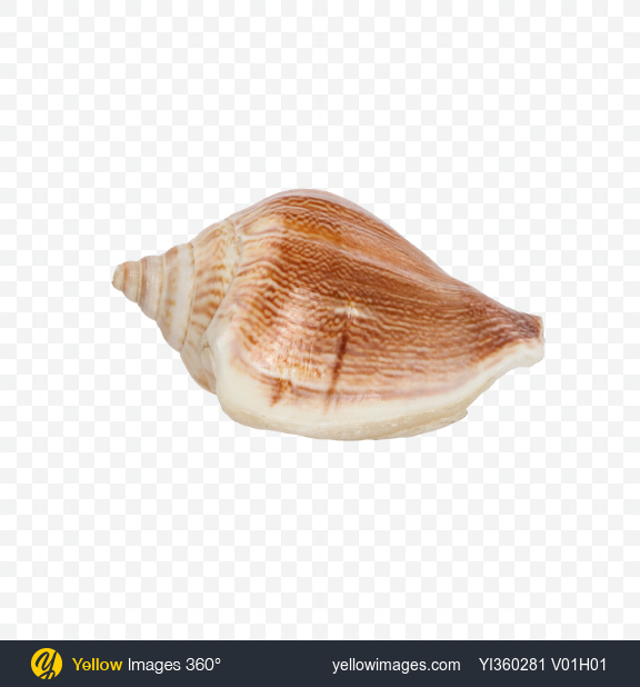 Download Glossy Striped Seashell Transparent PNG on Yellow Images 360°