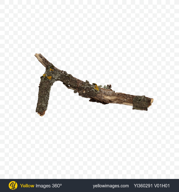 Download Tree Branch with Lichens Transparent PNG on Yellow Images 360°