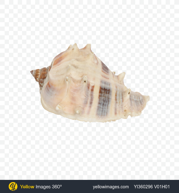 Download Striped Spiky Seashell Transparent PNG on Yellow Images 360°