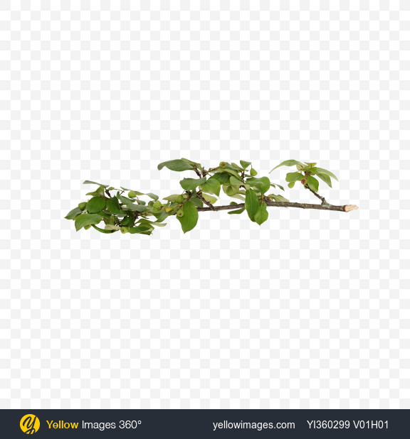 Download Bush Branch with Leaves and Berries Transparent PNG on Yellow Images 360°