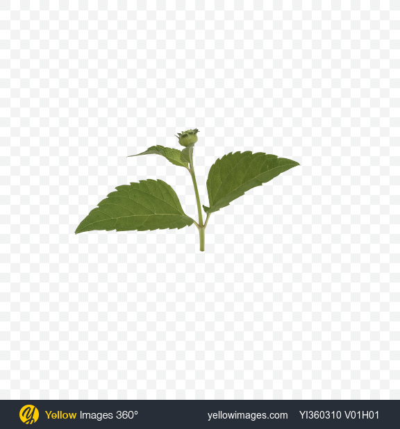 Download Flower Leaves Transparent PNG on Yellow Images 360°