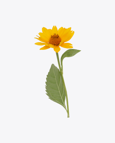 Calendula Flower with Leaves