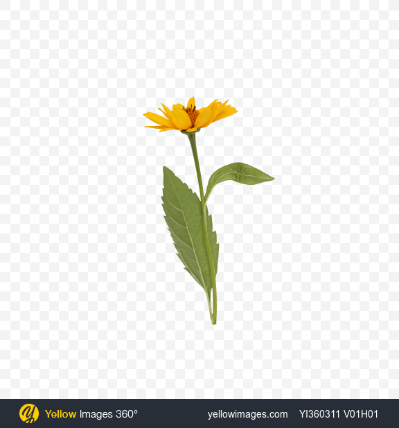 Download Calendula Flower with Leaves Transparent PNG on Yellow Images 360°