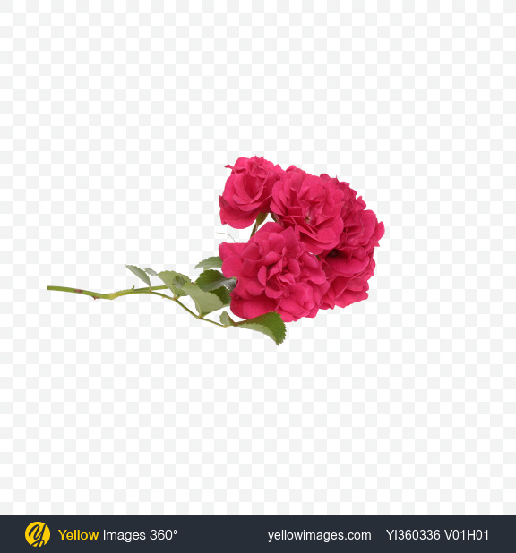 Download Branch of Mini Roses Transparent PNG on Yellow Images 360°
