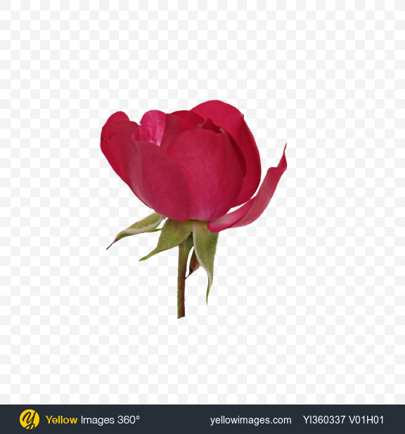 Download Mini Rose Bud Transparent PNG on Yellow Images 360°