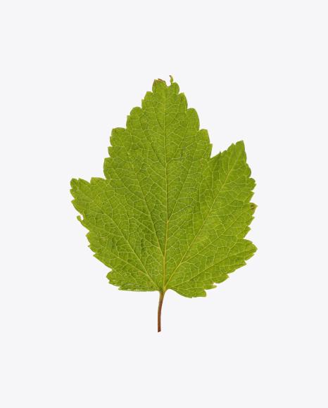 Сurrant Leaf