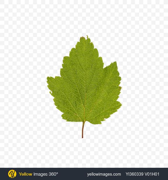 Download Сurrant Leaf Transparent PNG on Yellow Images 360°