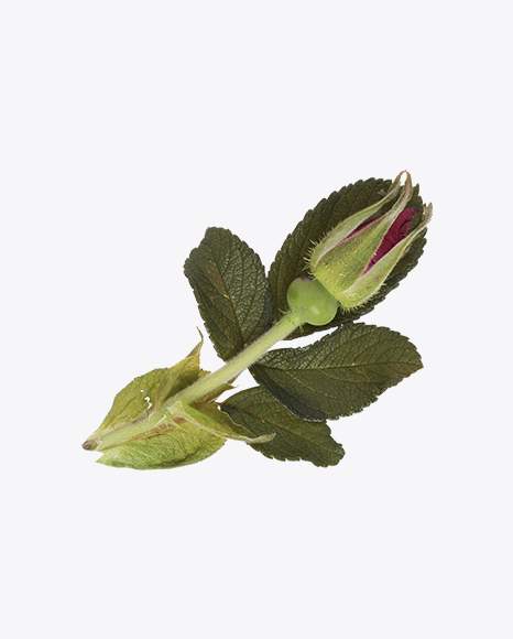 Rosehip Bud with Leaves