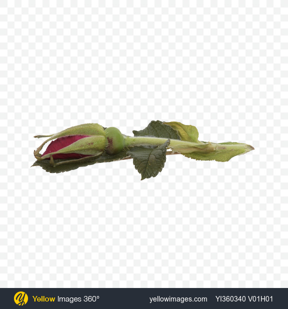 Download Rosehip Bud with Leaves Transparent PNG on Yellow Images 360°