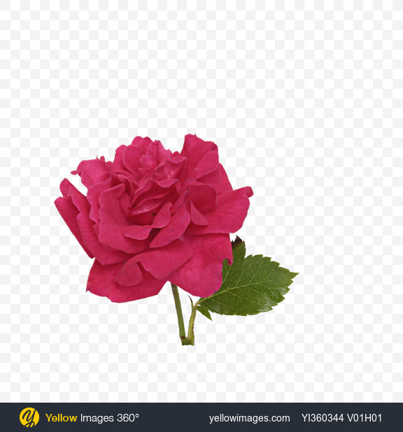 Download Mini Rose Flower Transparent PNG on Yellow Images 360°