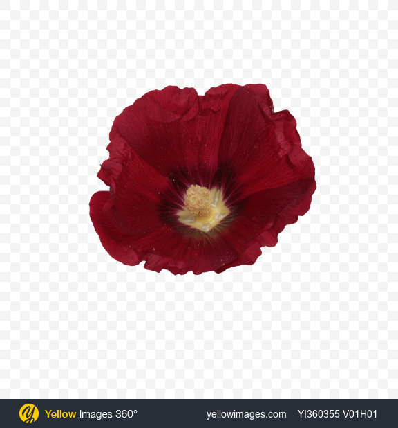 Download Mallow Flower Transparent PNG on Yellow Images 360°