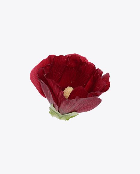 Mallow Flower Bud