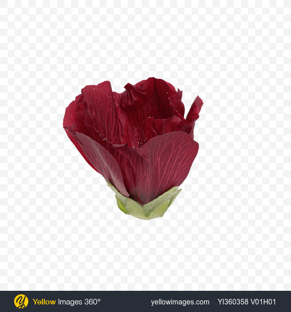 Download Mallow Flower Bud Transparent PNG on Yellow Images 360°