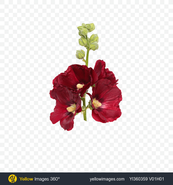 Download Mallow Flowers on Stem Transparent PNG on Yellow Images 360°