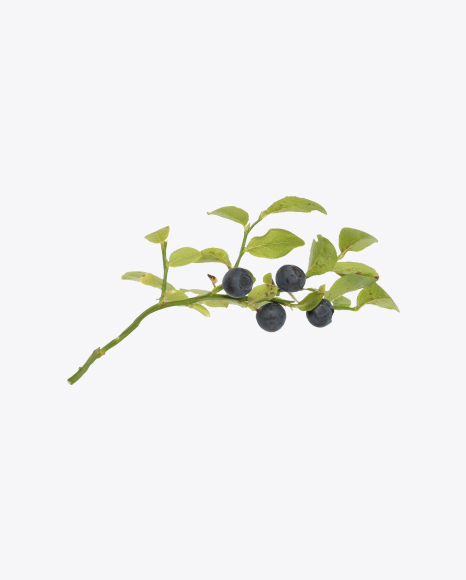 Branch with Blueberries