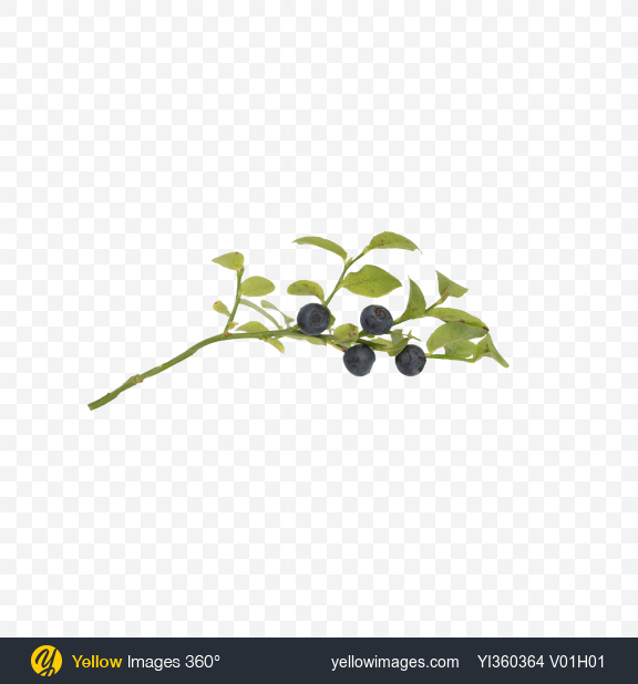Download Branch with Blueberries Transparent PNG on Yellow Images 360°