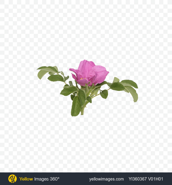Download Rosehip Flower with Leaves Transparent PNG on Yellow Images 360°