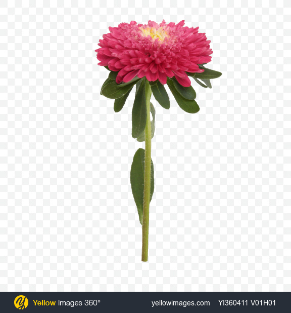 Download Pink Aster Flower With Yellow Center Transparent Png On