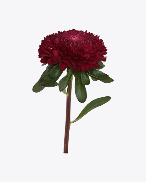 Dark Red Aster Flower