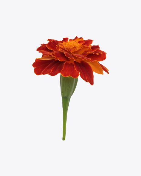 Red Marigold Flower
