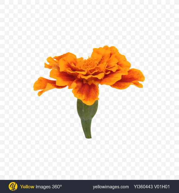 Download orange marigold flower transparent png on yellow images 360 mightylinksfo