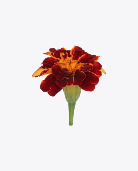 Dark Red Marigold Flower