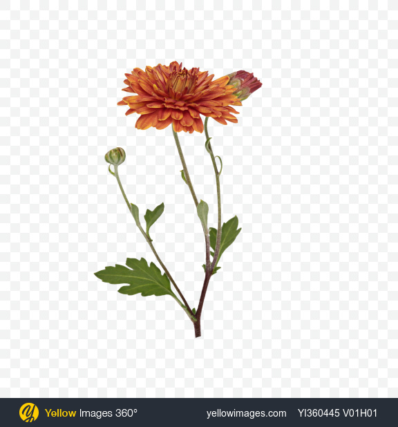Download Orange Chrysanthemum Flower Transparent PNG on Yellow Images 360°