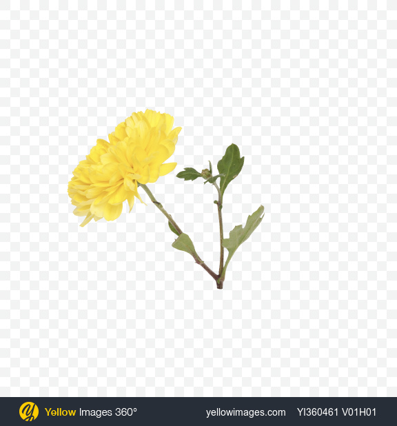 Download Yellow Chrysanthemum Flower Transparent PNG on Yellow Images 360°