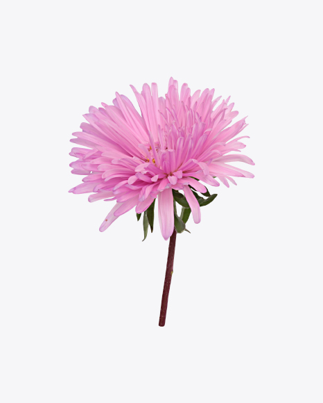 Download pink china aster flower transparent png on yellow images 360 pink aster flower mightylinksfo