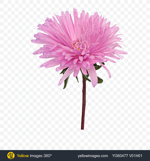 Download pink aster flower transparent png on yellow images 360 mightylinksfo