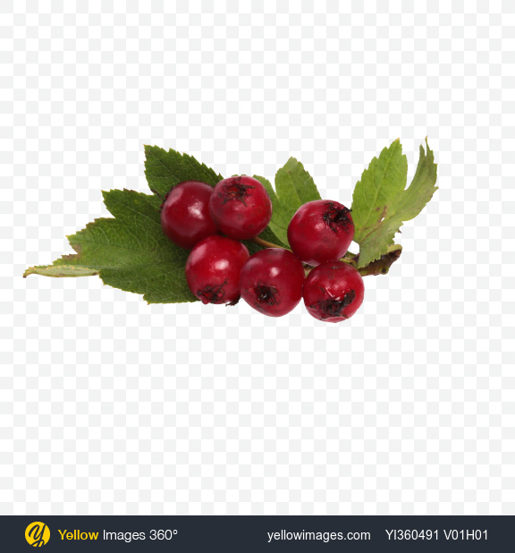 Download Hawthorn Berries Transparent PNG on Yellow Images 360°
