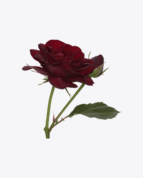 Red Rose with a Rosebud