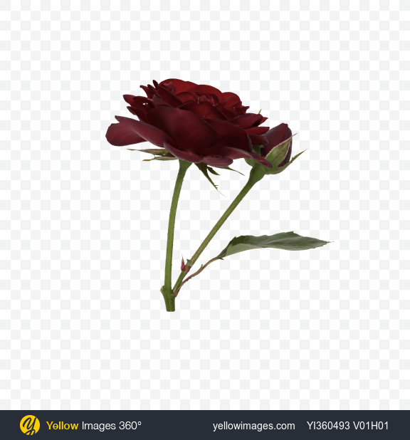 Download Red Rose with a Rosebud Transparent PNG on Yellow Images 360°