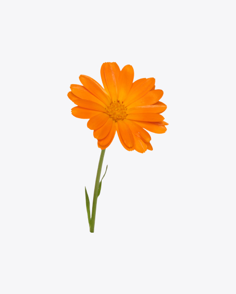 Orange Calendula Flower on Stem