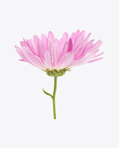 Light Pink Сhrysanthemum Flower