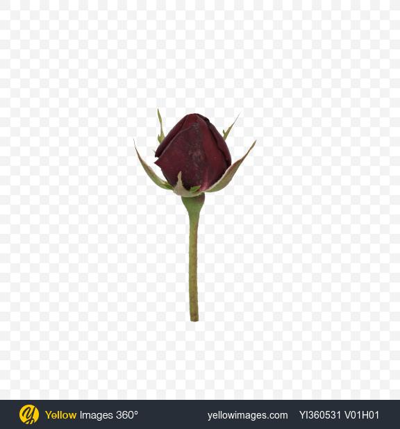 Download Rosebud on Stem Transparent PNG on Yellow Images 360°