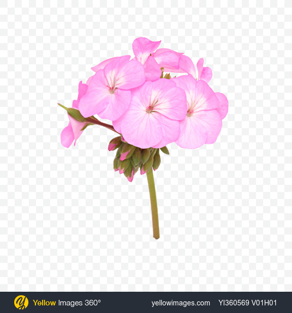 Download pink geranium flower on stem transparent png on yellow download pink geranium flower on stem transparent png on yellow images 360 mightylinksfo
