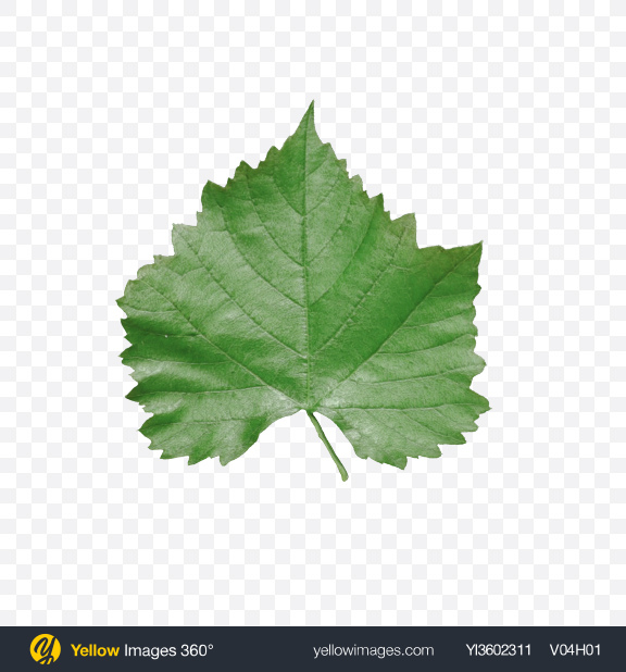 Download Grape Leaf Transparent PNG on Yellow Images 360°