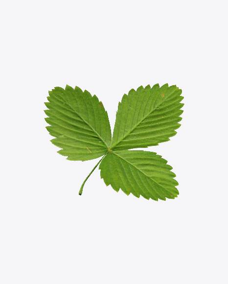 Strawberry Leaf