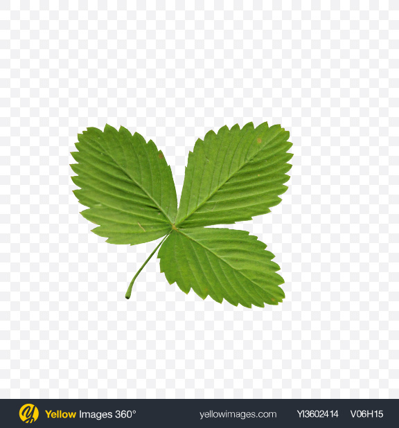 Download Strawberry Leaf Transparent PNG on Yellow Images 360°