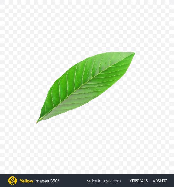 Download Citrus Leaf Transparent PNG on Yellow Images 360°